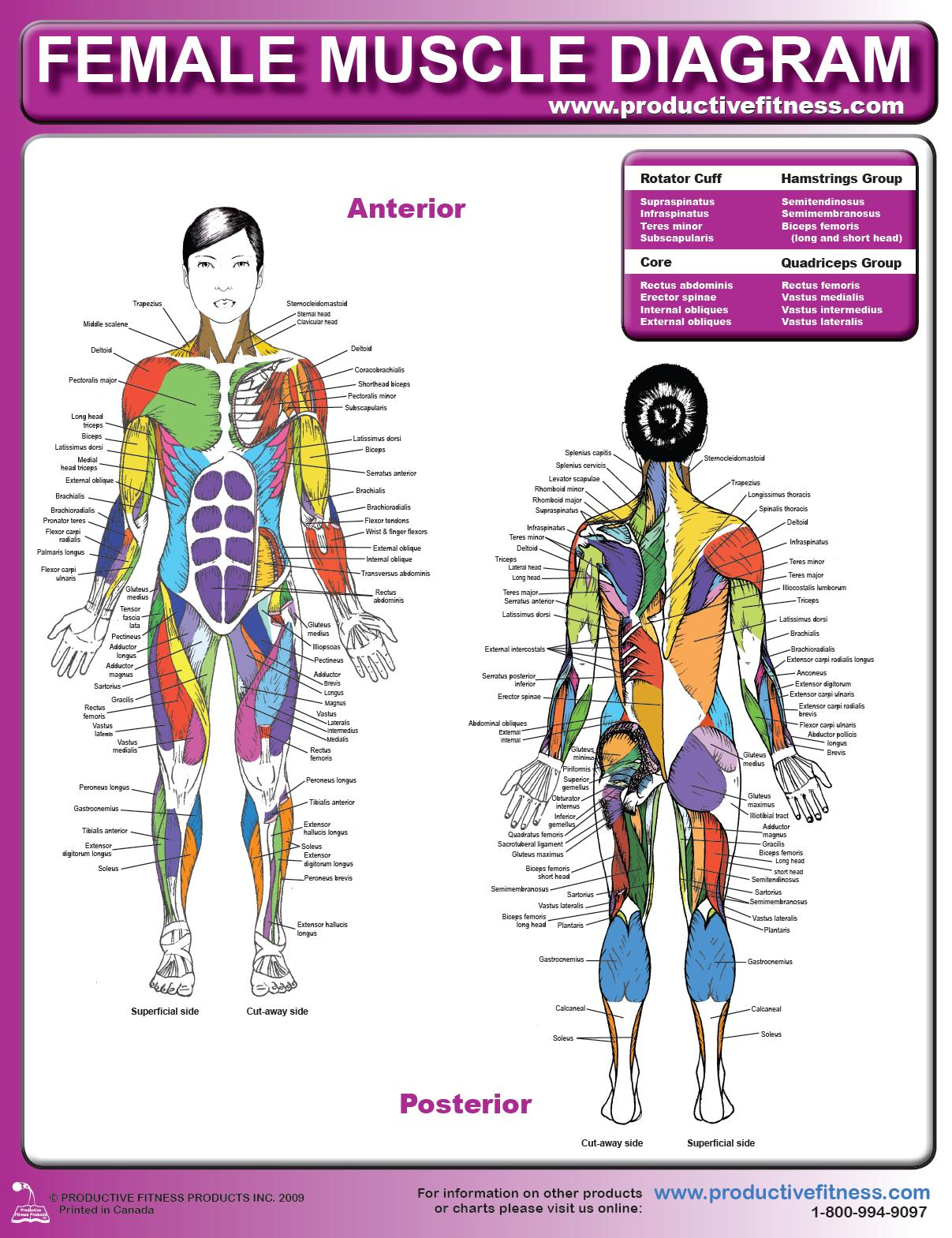 Female Muscle Diagram and Definitions | Jacki's Blog